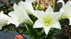 Das Foto zeigt einen Strauß weißer Lilien auf einem Grab.