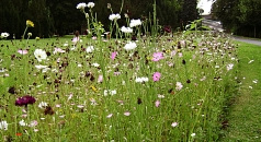 Das Foto zeigt einen Streifen Wildblumenbepflanzung auf einer Rasenfläche im Schülerpark.