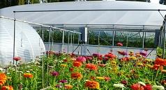 Die Stadtgärtnerei zieht auf ihrem Außengelände Blühpflanzen für den Verkauf und ihren Eigenbedarf. Im Folienhuas im Hintergrund reifen die Tomaten.